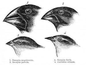 Evoluția în acțiune. Cintezele din Galapagos au avut un strămoș comun, dar pentru că unele păsări și-au modificat sursa de hrană, ciocul s-a adaptat pentru a sparge semninte, culege nectar sau prinde insecte. Click pentru mărire.