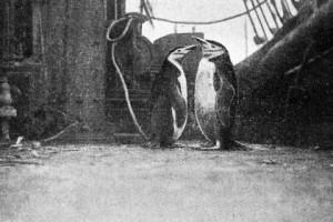Doi pinguini antarctici (Pygoscelis antarctica), foarte supăraţi că se vedeau prizonieri pe puntea Belgicei